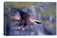 White Tailed Eagle Mull Scotland, Canvas Print