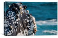 Humpback Whale close up with Barnacles, Canvas Print