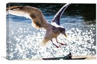 Seagull landing., Canvas Print