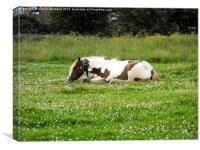 Lying horse eating grass, Canvas Print