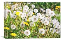 Spring meadow of dandelions, Canvas Print