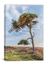 Lonesome Pine, Canvas Print