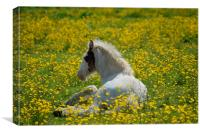 Foal in the Buttercups, Canvas Print