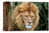 Lion King, Canvas Print