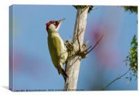 Green Woodpecker, Canvas Print