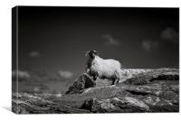 Isle of Harris sheep, Canvas Print