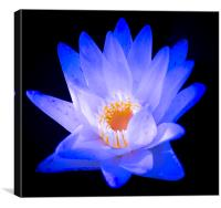 Flower Water Lily, Canvas Print