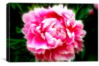 Delightful  Peony flower, Canvas Print