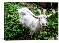 Billy Goat takes the biscuit, Canvas Print