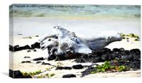 SHEEPS HEAD IN DRIFTWOOD X3, Canvas Print