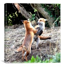 The Frolickings of two young fox cubs, Canvas Print