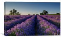 Lavender Dawn, Canvas Print