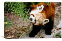 Red Panda Tongue, Canvas Print