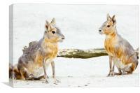 Mara Rodent Animals, Canvas Print