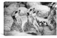 Meerkat Group, Canvas Print
