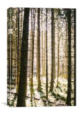 Sunlit Forest, Canvas Print