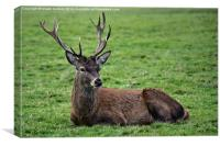 Resting stag, Canvas Print