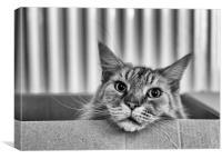 Cat In A Box, Canvas Print