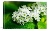 Heliotrope flowers Tiny White Flower Macro Photogr, Canvas Print