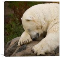 Snoozing Bear, Canvas Print