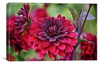 Crimson dahlia, Canvas Print