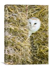 Barn Owl, Canvas Print