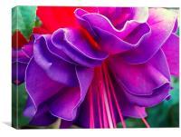 Purple Fuchsia, Canvas Print