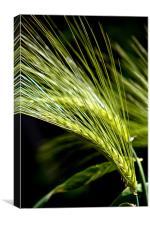 Wheat, Canvas Print