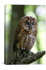 The Sleepy Tawny Owl, Canvas Print