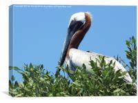 Pelican in a Mangrove Tree , Canvas Print