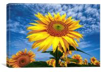 Sunflower Morning , Canvas Print