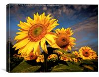 Sunflower 2, Canvas Print