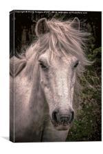 Dartmoor Pony , Canvas Print