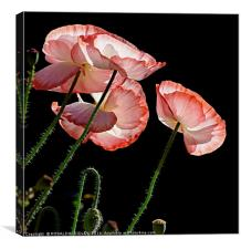"""""""MORNING DEW ON THE POPPIES 2"""", Canvas Print"""