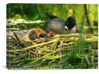 """Mum takes a rest , while her baby Coots see the W, Canvas Print"