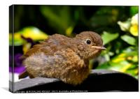 """Baby Robin taking a sunbathe"", Canvas Print"