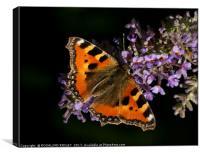 """Tortoiseshell butterfly on Buddleia"", Canvas Print"