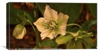 """""""Evening light on the Hellebores"""", Canvas Print"""