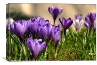 """""""Purple Crocuses"""", Canvas Print"""