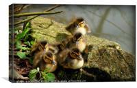 """Ducklings first sunbathe"", Canvas Print"