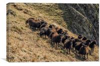 Black Sheep on the North Devon Cliffs, Canvas Print