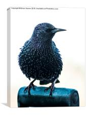 Starling, Canvas Print