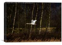 Swan over Rutland Water, Canvas Print