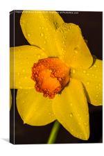 Daffodil after the rain, Canvas Print