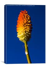 Kniphofia Tawny King (Red Hot Poker, Canvas Print