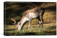 Fallow Deer Buck, Canvas Print