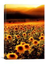 Sunflowers Sunset, Canvas Print