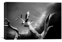 Osprey at Honeymoon Island, Canvas Print