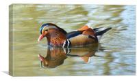 Mandarin duck (Aix galericulata), Canvas Print