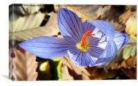 Wild saffron,